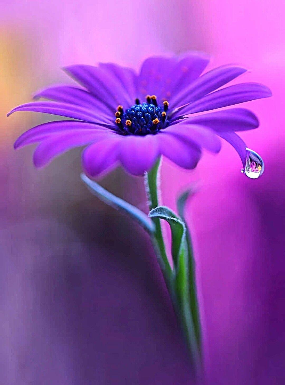 Pin De Mustafa Emin Turker En Flores Flores Bonitas Rosas Purpuras Rosas Bonitas