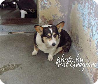 Lomita Ca Pembroke Welsh Corgi Meet Maya A Dog For Adoption Corgi Pembroke Welsh Corgi Welsh Corgi