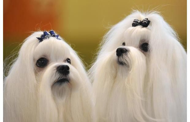 Dog Gone Cute Hairy Highlights Of The Crufts Dog Show Maltese Dogs