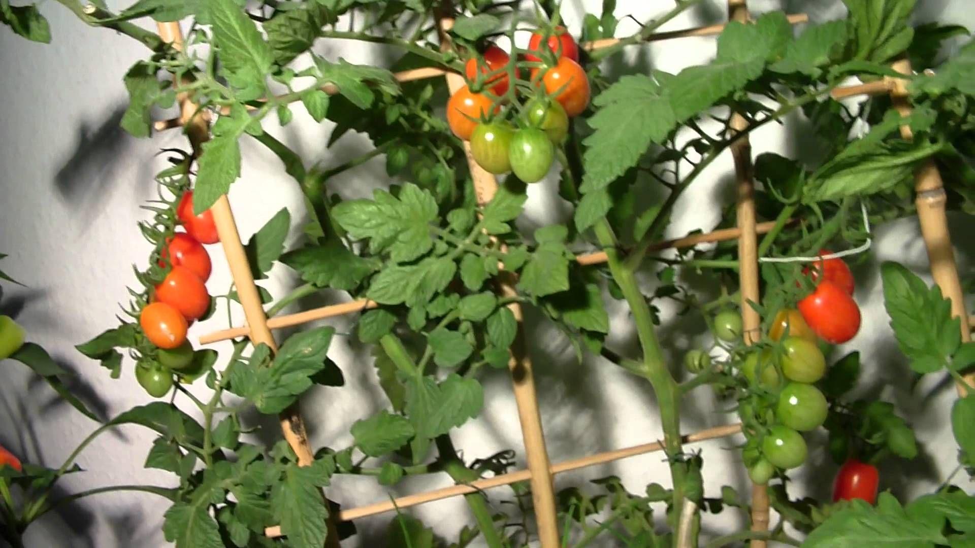 Tomaten Züchten