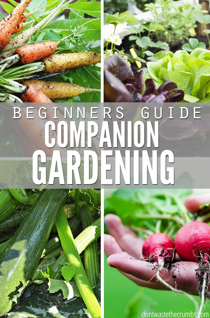 Companion Gardening Beginners Guide Companion Gardening Gardens And Vegetable Garden