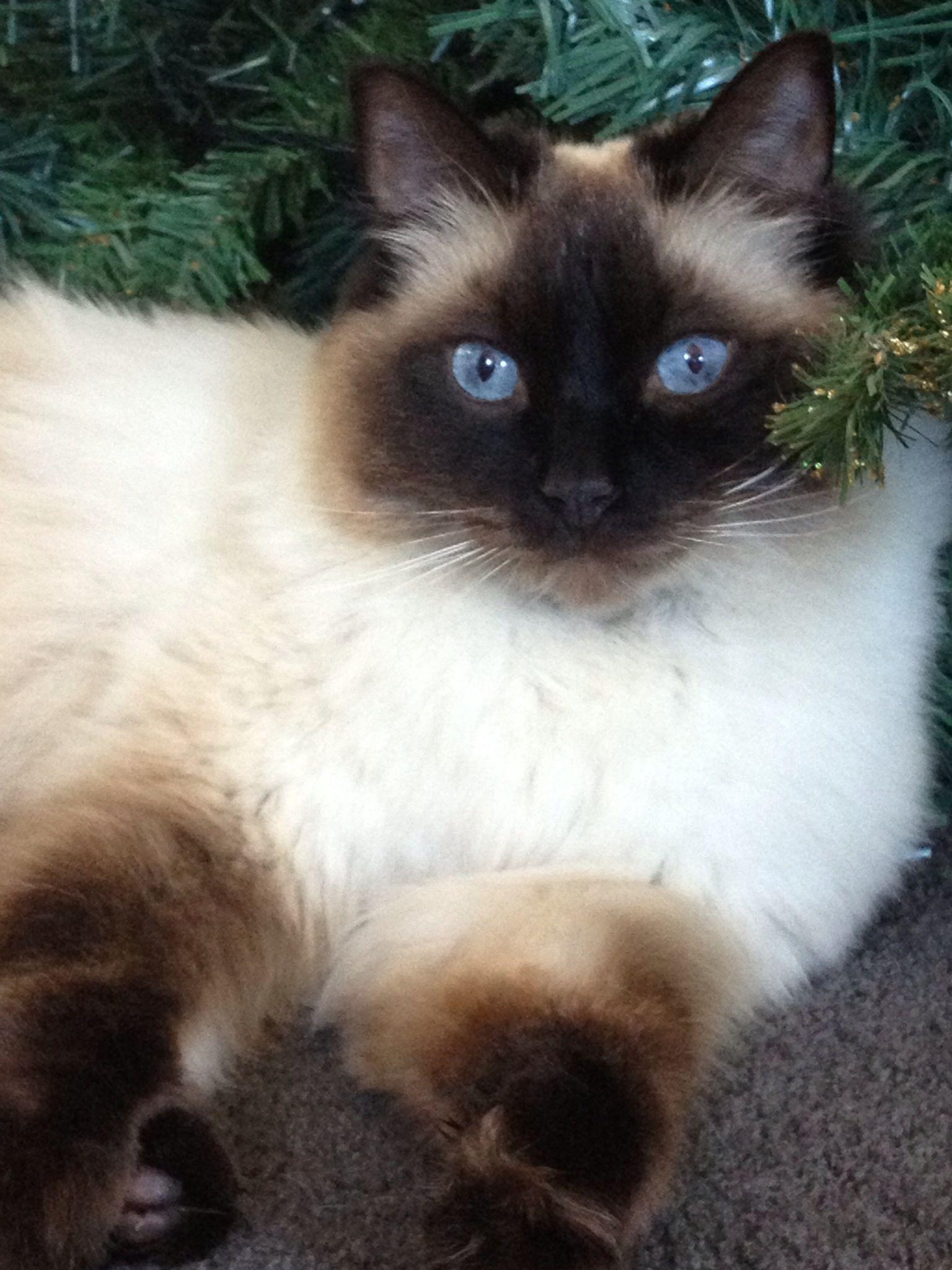 Coco My Ragdoll Beautiful Cats Ragdoll Cat Ragdoll Kitten