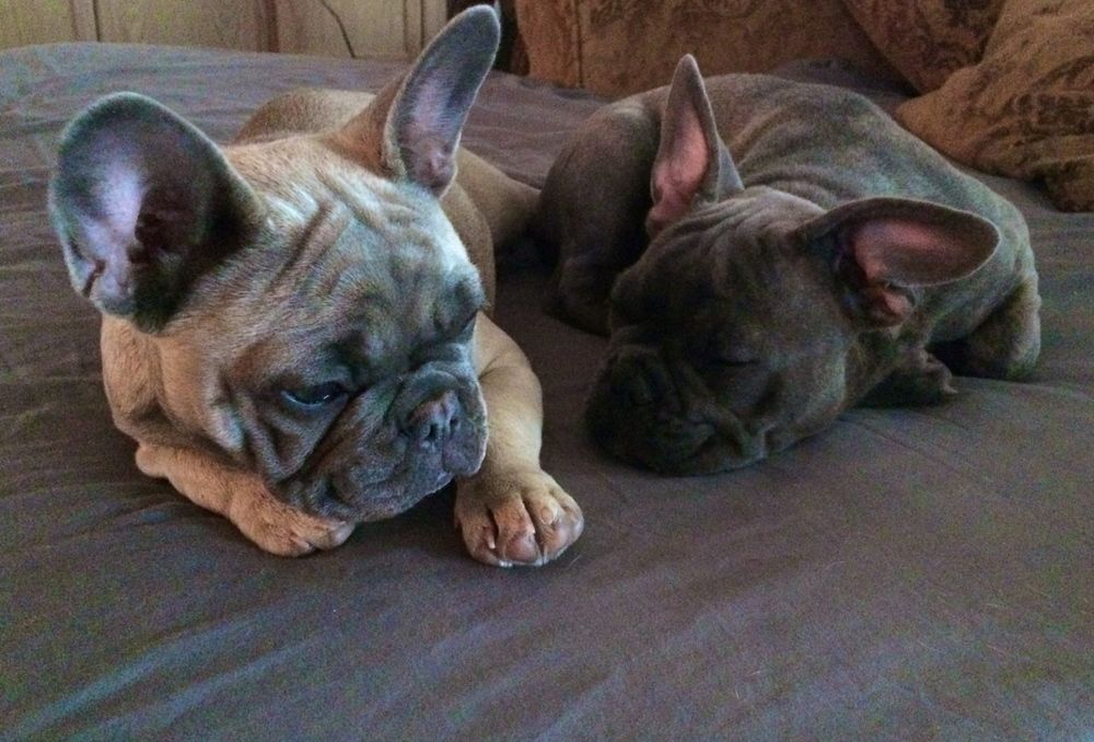 Cross Timbers Frenchies Aspen And Beaux French Bulldog