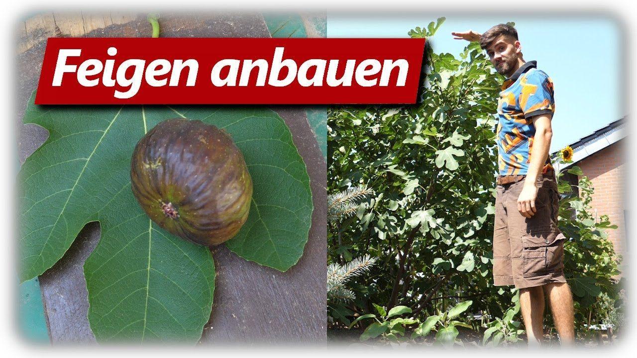 Feigen Anbauen Vermehren Dungen Pflegen In Deutschland Youtube In 2020 Unkraut Im Garten Feigen Gepflegt