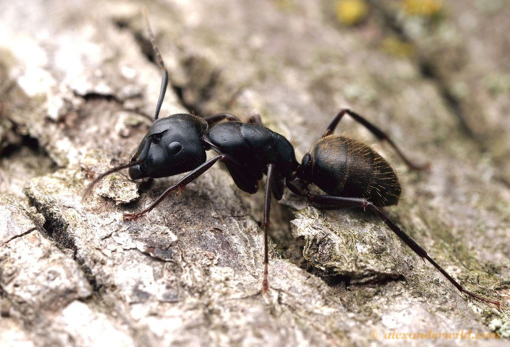 how to kill balck ants