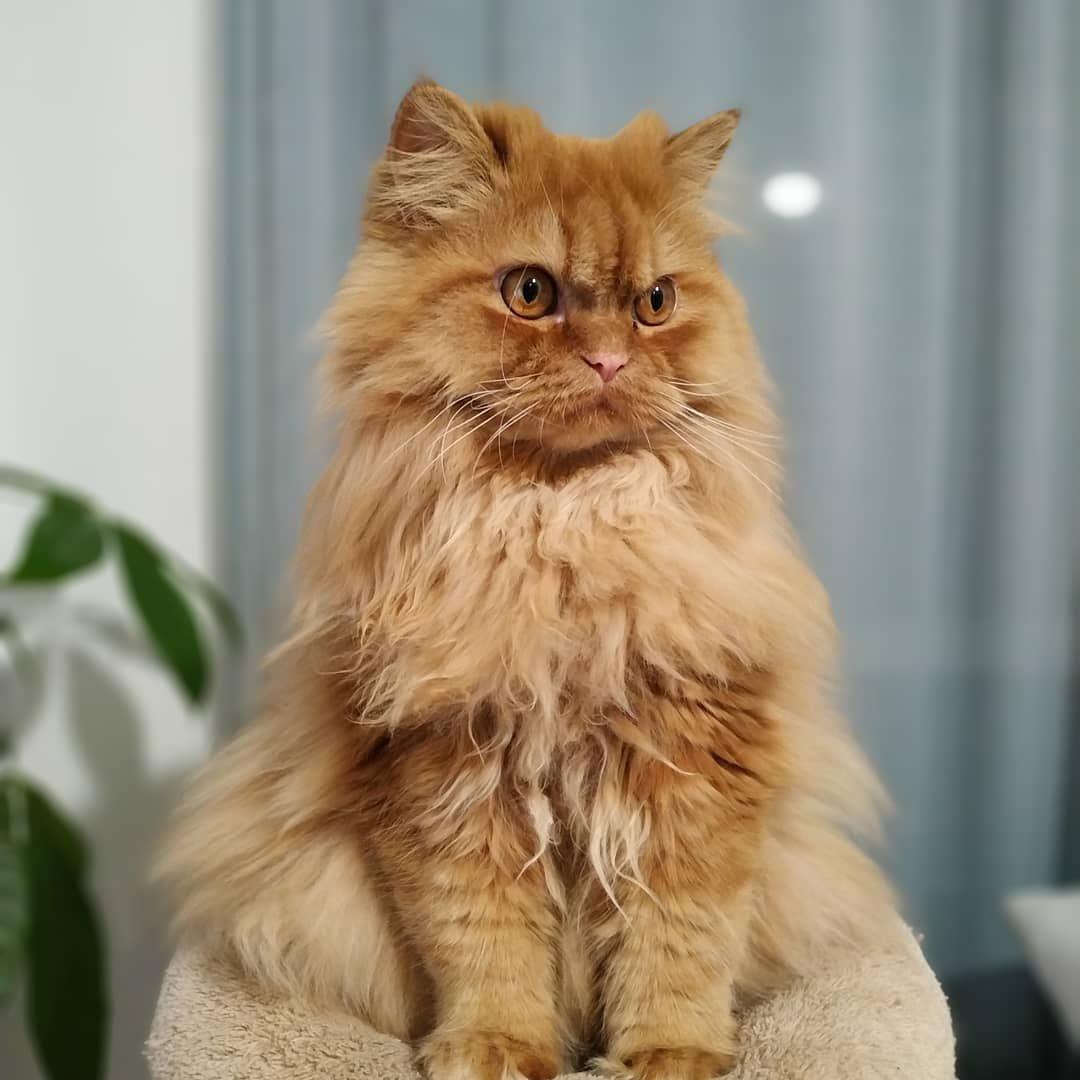 When Frowning Is A Special Skill Cat Persiancat Europeanpersian Catlovers Fluffy Magesticcat Balloffur Frowningcat Judg Judging Cat Cats Persian Cat