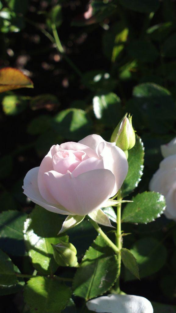 Pinterest & Aspirin-ruusu | flowers | Flowers Flowers perennials Garden trees