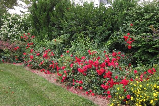 Roses In Garden: Flower Carpet Scarlet Roses, Allowed To Grow Out Without A