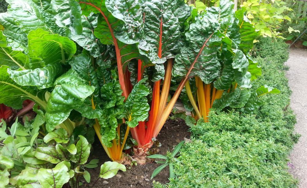Mangold - Pflanzen, Pflege Und Tipps Blattsalat Pflanzen Pflege Tipps Garten