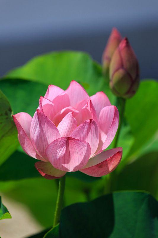 奈良 喜光寺の蓮 蓮の花 蓮 イラスト ハスの花