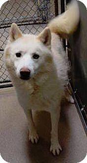Siberian Husky Dog For Adoption In Zanesville Ohio Pepper