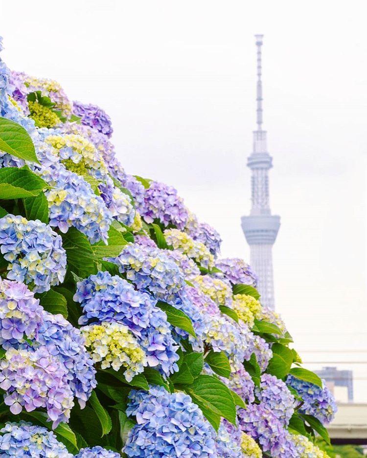 Kyu Nakagawa Riverside Tokyo Japan Travel Tourist Attraction Sightseeing Spots Superb Views Garden Hydrangea F Japan Travel Hydrangea Flower Hydrangea