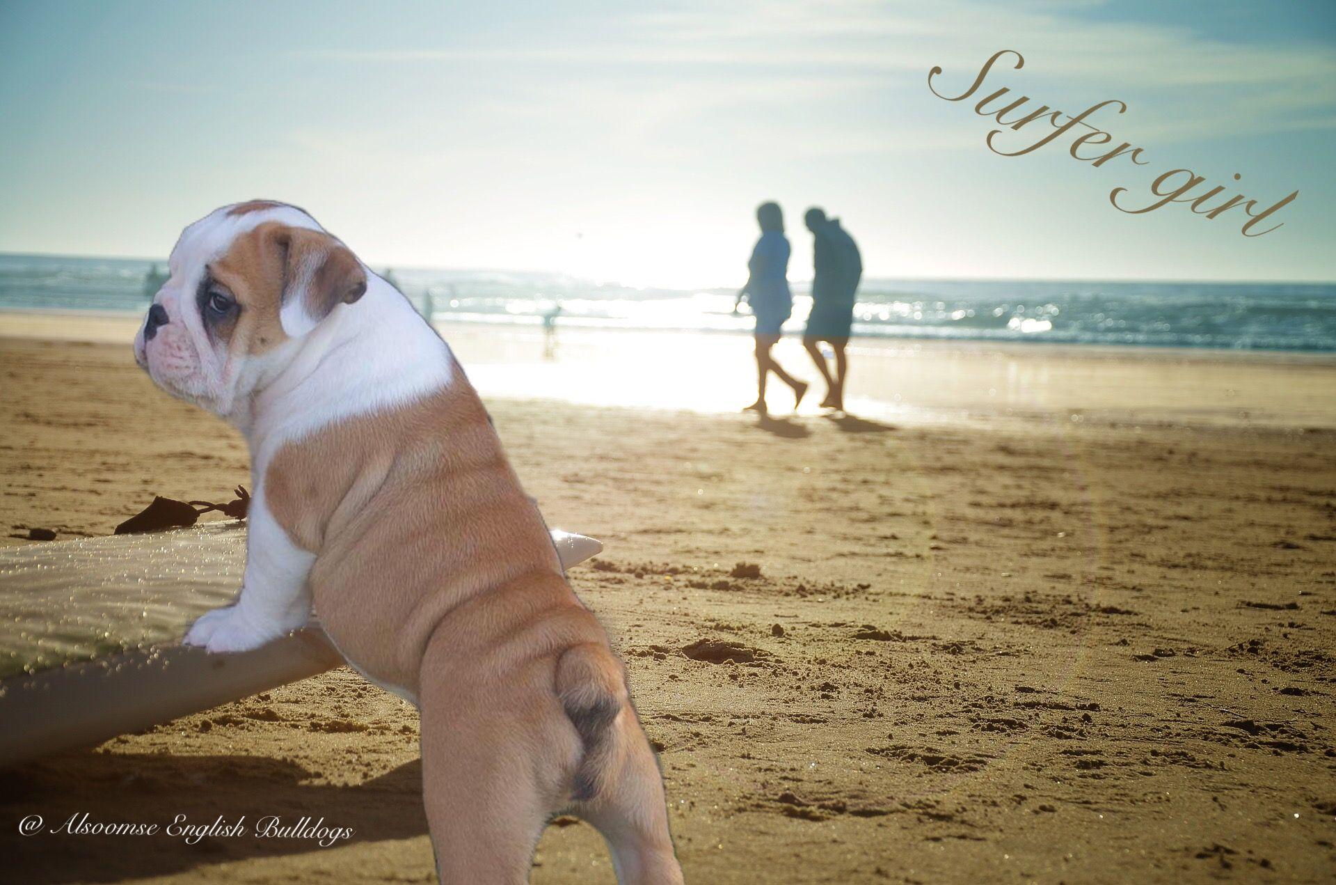 Alsoomse english bulldogs bulldog english bulldog
