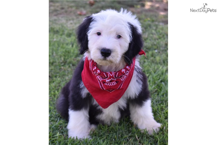 Max Sheepadoodle Puppy For Sale Near Orange County California Bedb4d19 6ab1 Sheepadoodle Puppy Puppies Sheepadoodle