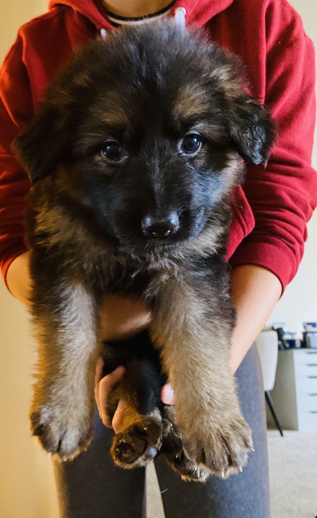 Breed german shepherd gender female registry akc