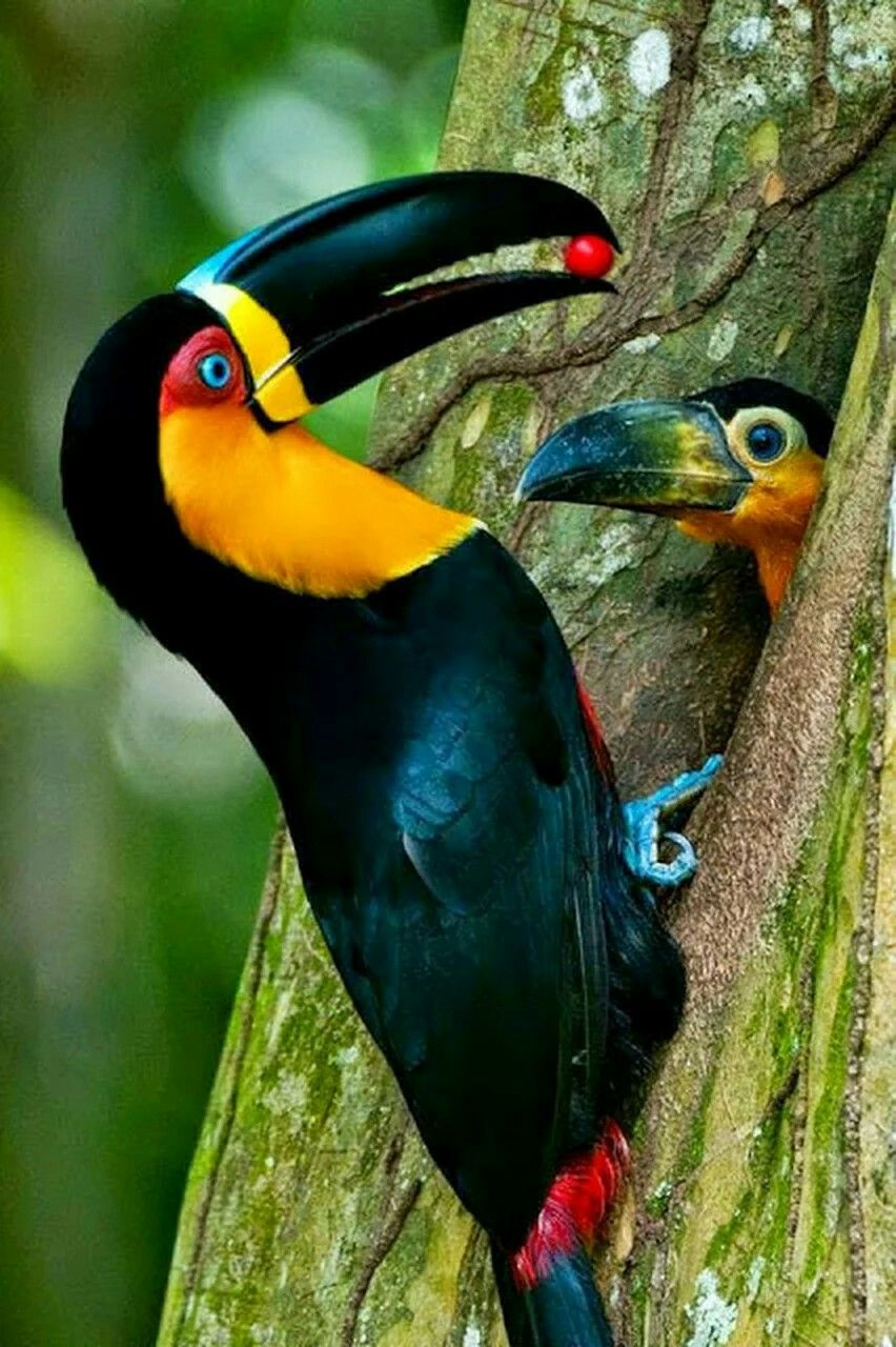 The Channelbilled Toucan lives in humid forests