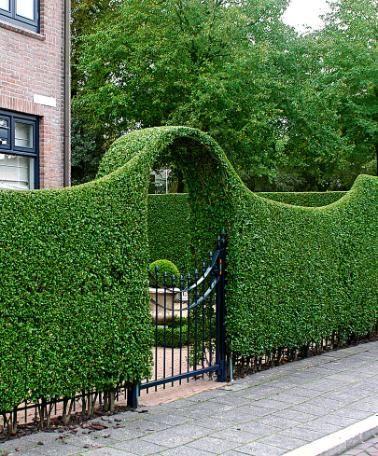 Evergreen Privet Ligustrum ovalifolium is a very strong hedge that