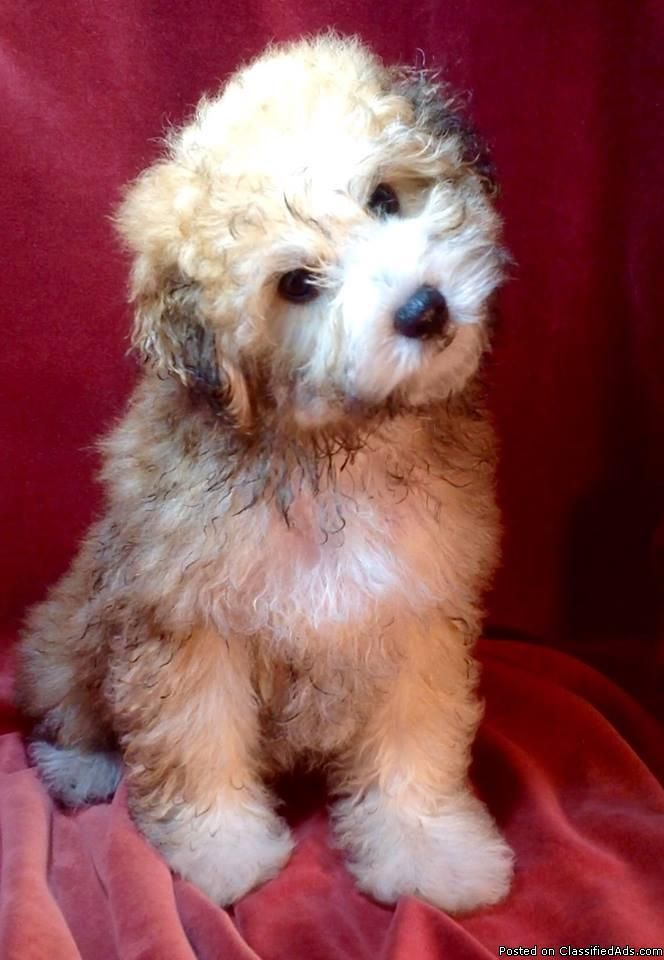 Bichonpoo Mix Puppies Mom Is A Pomapoo Dads Bichon Very Loving