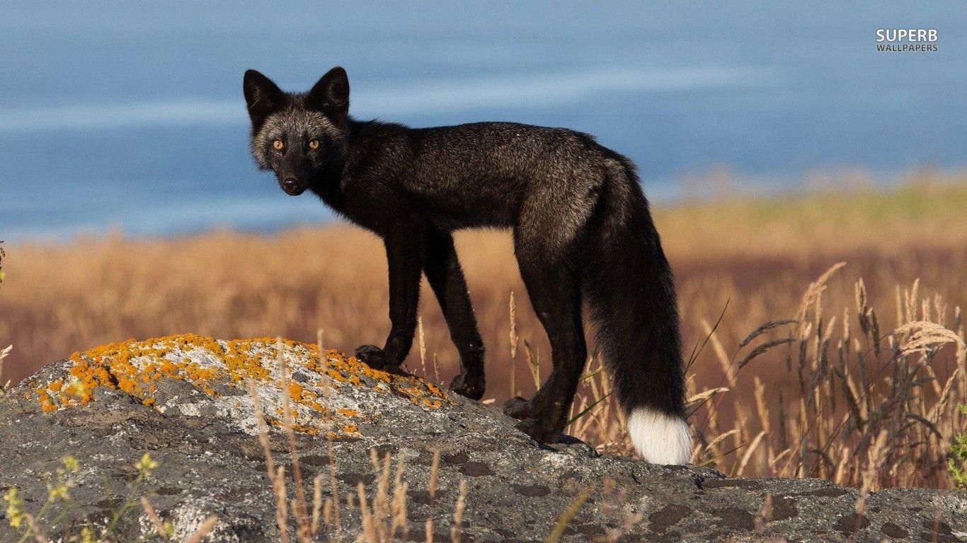 Black Fox Animal Black Fox Wallpaper 1366x768 With Images Pet Fox Nature Animals