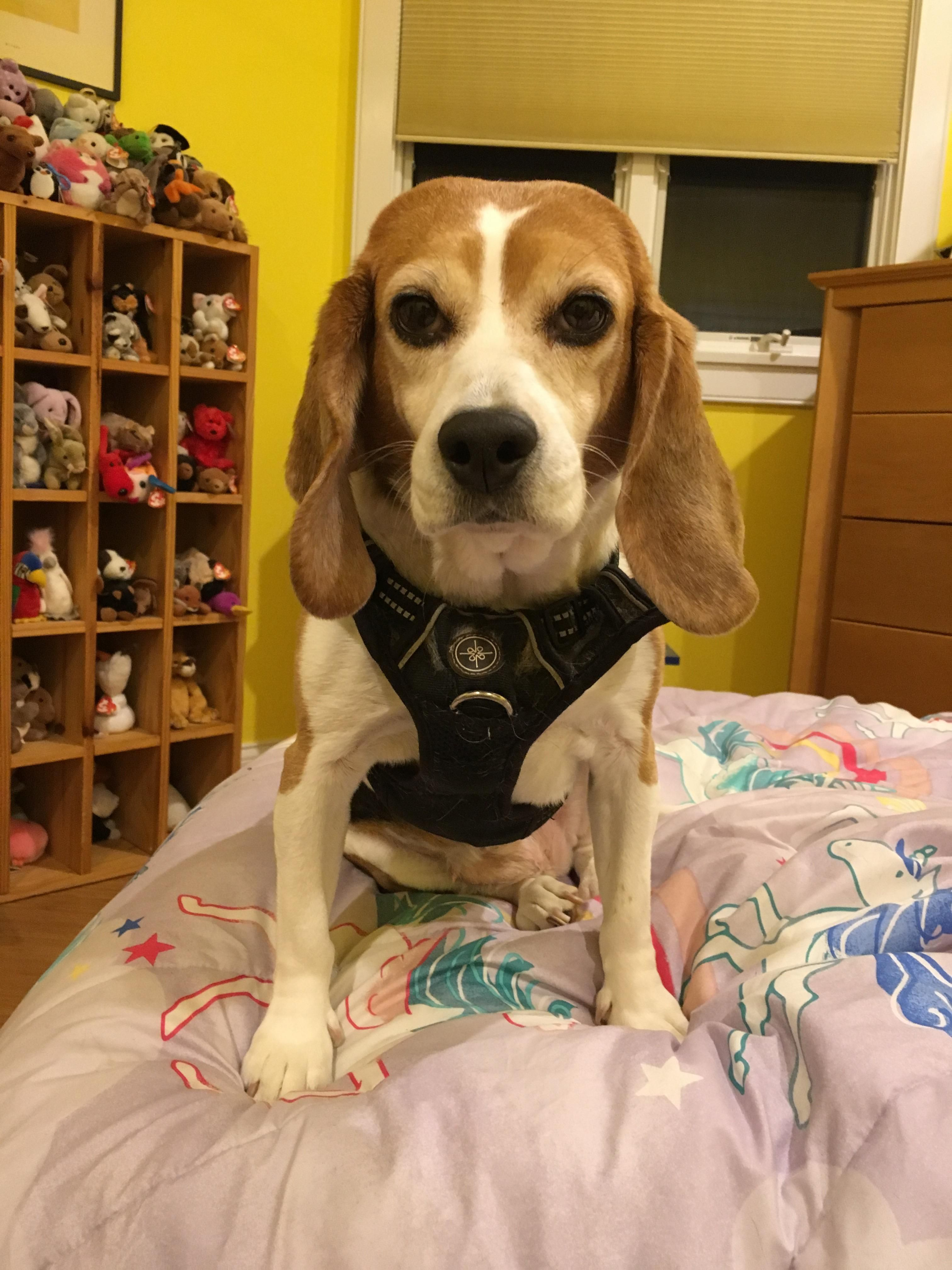 Image By Allison On Beagle Beagle Breeds Beagle Dog Animals