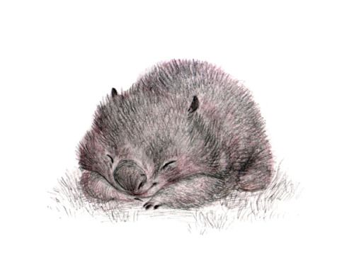 Wombat Drawing A little pencil sketch...