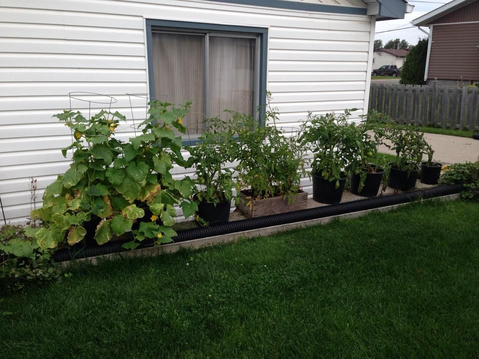 Potted cucumber and tomato plants