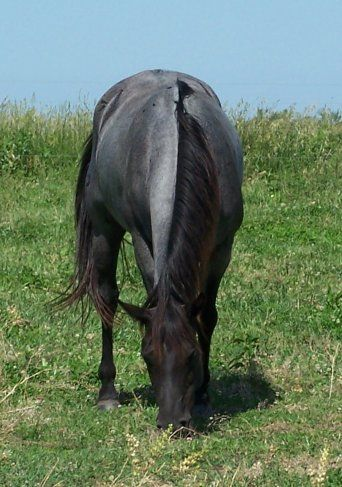 BLUE ROAN HORSE COLOR: Genetics, descriptions, photos ...