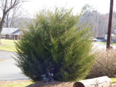 List Of Zone 3 Junipers Tips For Growing Junipers In Zone 3 Evergreens For Shade Zone 3 Garden Types