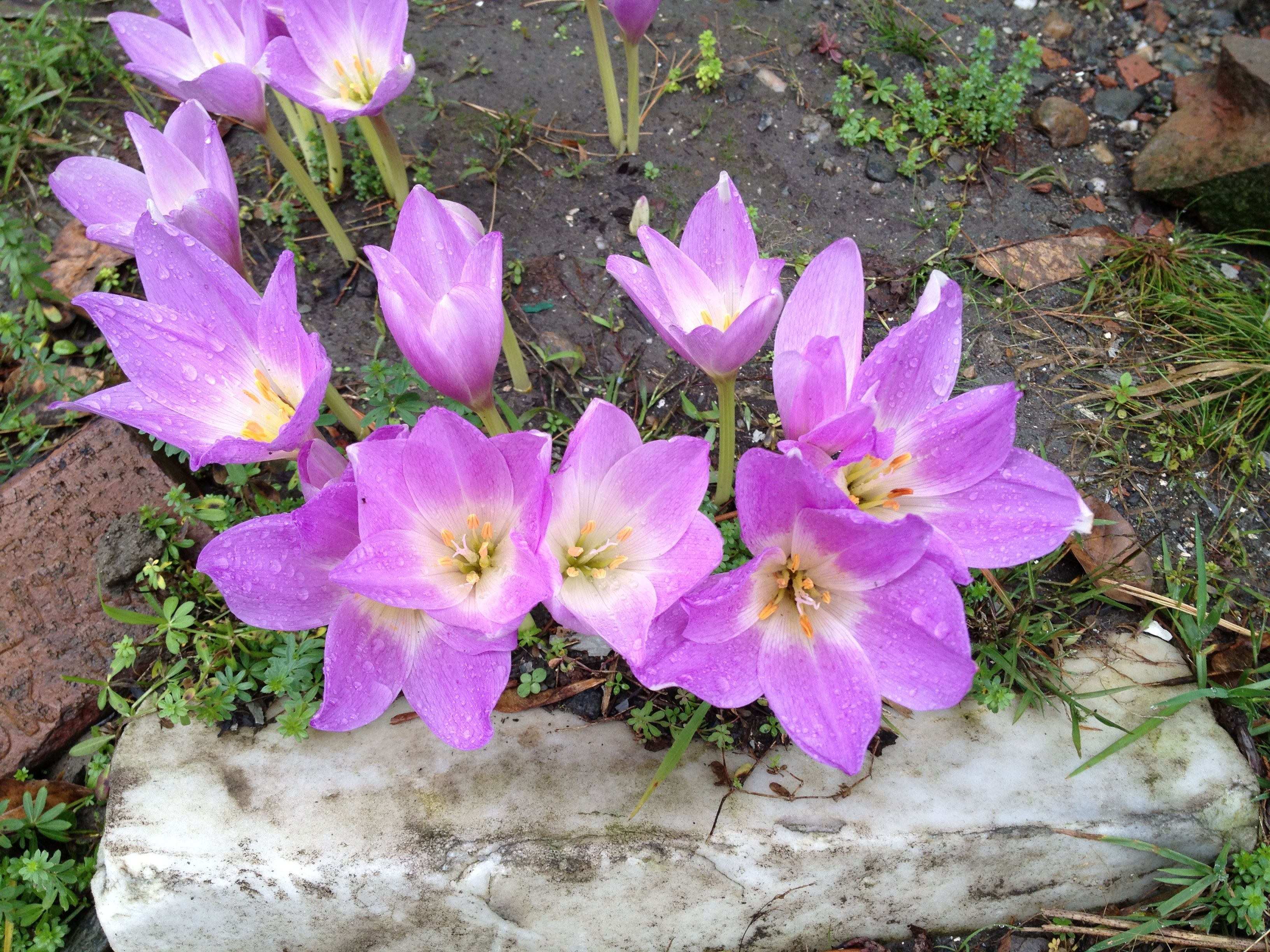 Fall Crocus Leaves Come Up In Spring Die Back And Flowers Bloom