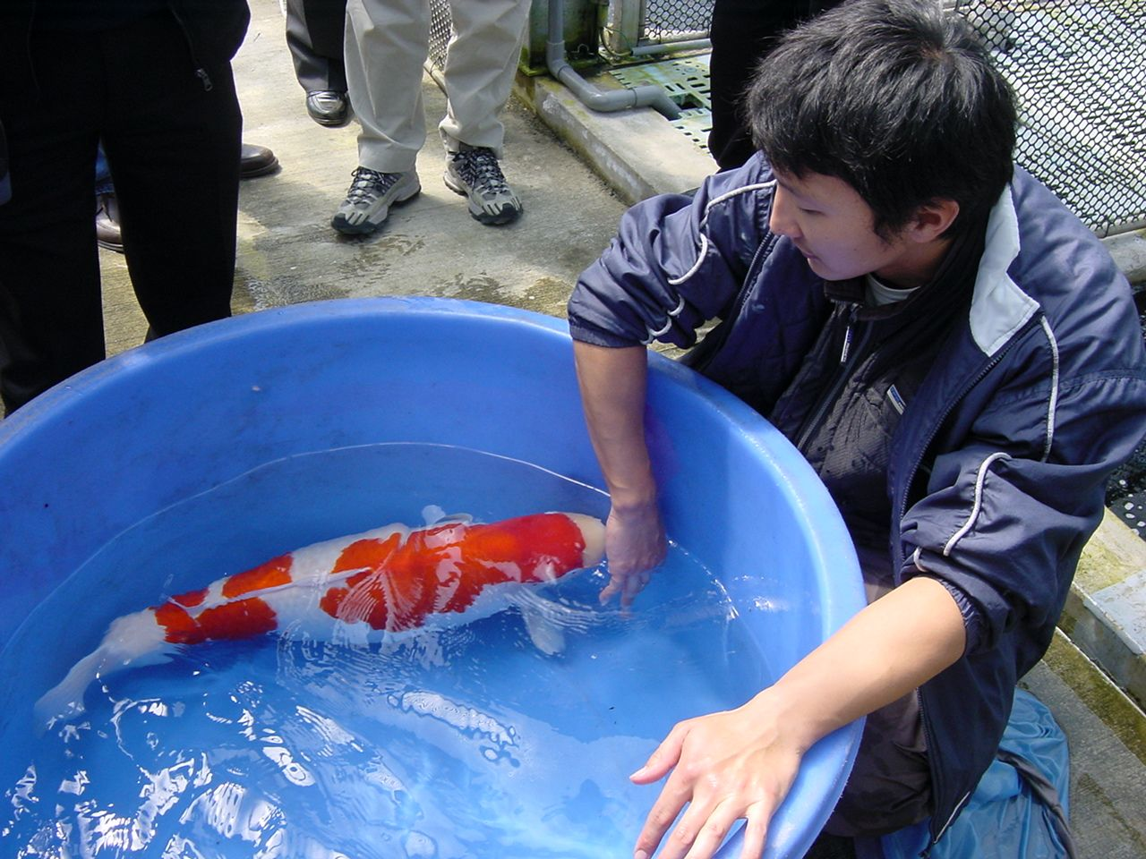 Momotaro fish farm breeders of the world 39 s champion koi for Koi carp farm