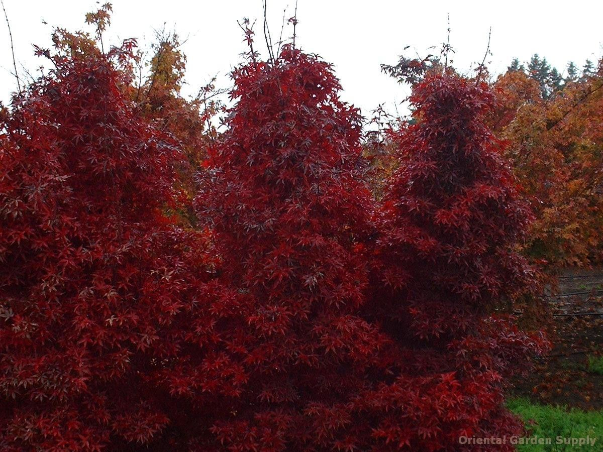 acer palmatum 'twombly red sentinel'   putting down roots