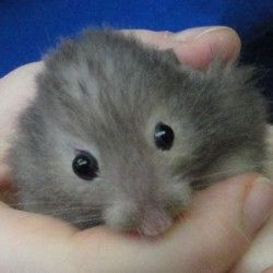 Shadow A Male Hamster Up For Adoption In Regina Sk Hamster