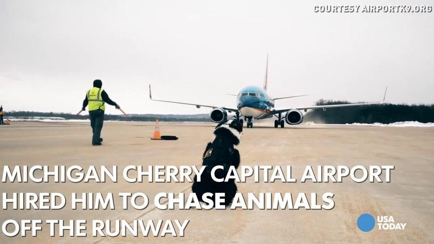 Traverse City Airport Dog Becomes Internet Sensation Airport City Traverse City Dogs