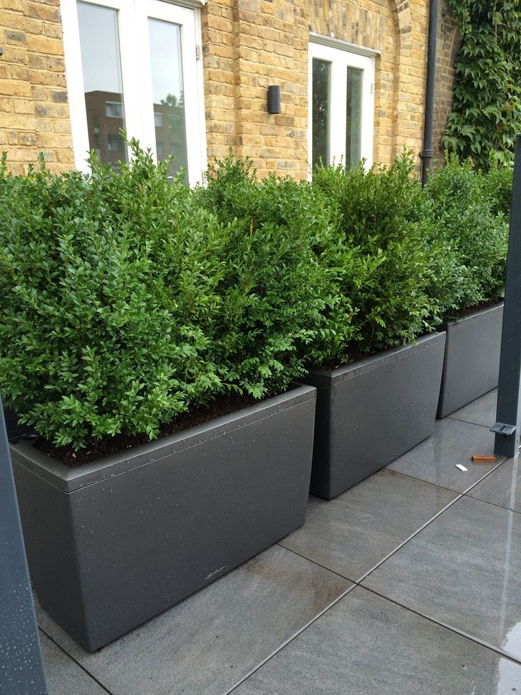 Natural Buxus planted in barrier planters to create natural green ...