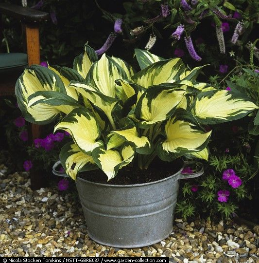 In galvanised bowl on terrace, Hosta 'Morning Light', a perennial grown for its architectural leaves