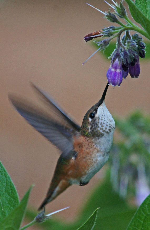 Hummingbird at flower8x10 photo mounted in by PhotosbyAdrienneMay, $35.00