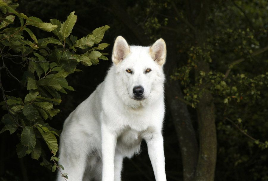 best photos and pictures ideas about northern inuit dogs ...