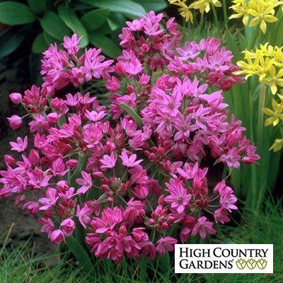 Pink allium ornamental onion allium plants and flowers pink allium ornamental onion high country gardens mightylinksfo