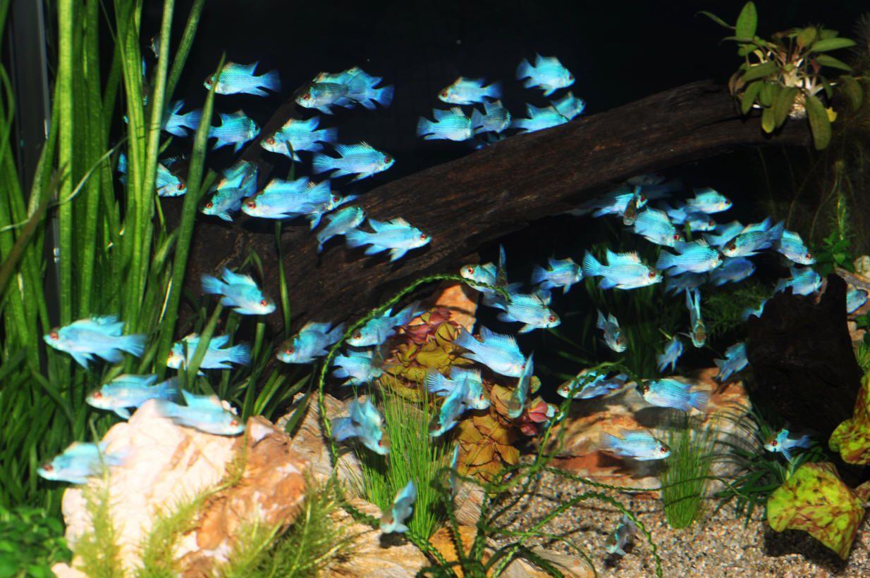 Electric Blue Ram Cichlid Aquariums Fish Pinterest