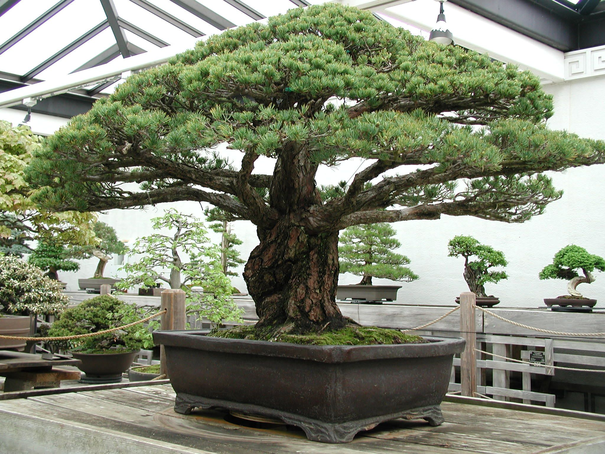 Nearly 400 Year Old Bonsai Tree that survived the Hiroshima Blast