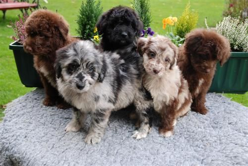 Dog Hunt Australian Shepherd Poodle Mix Cute Animals Aussiedoodle