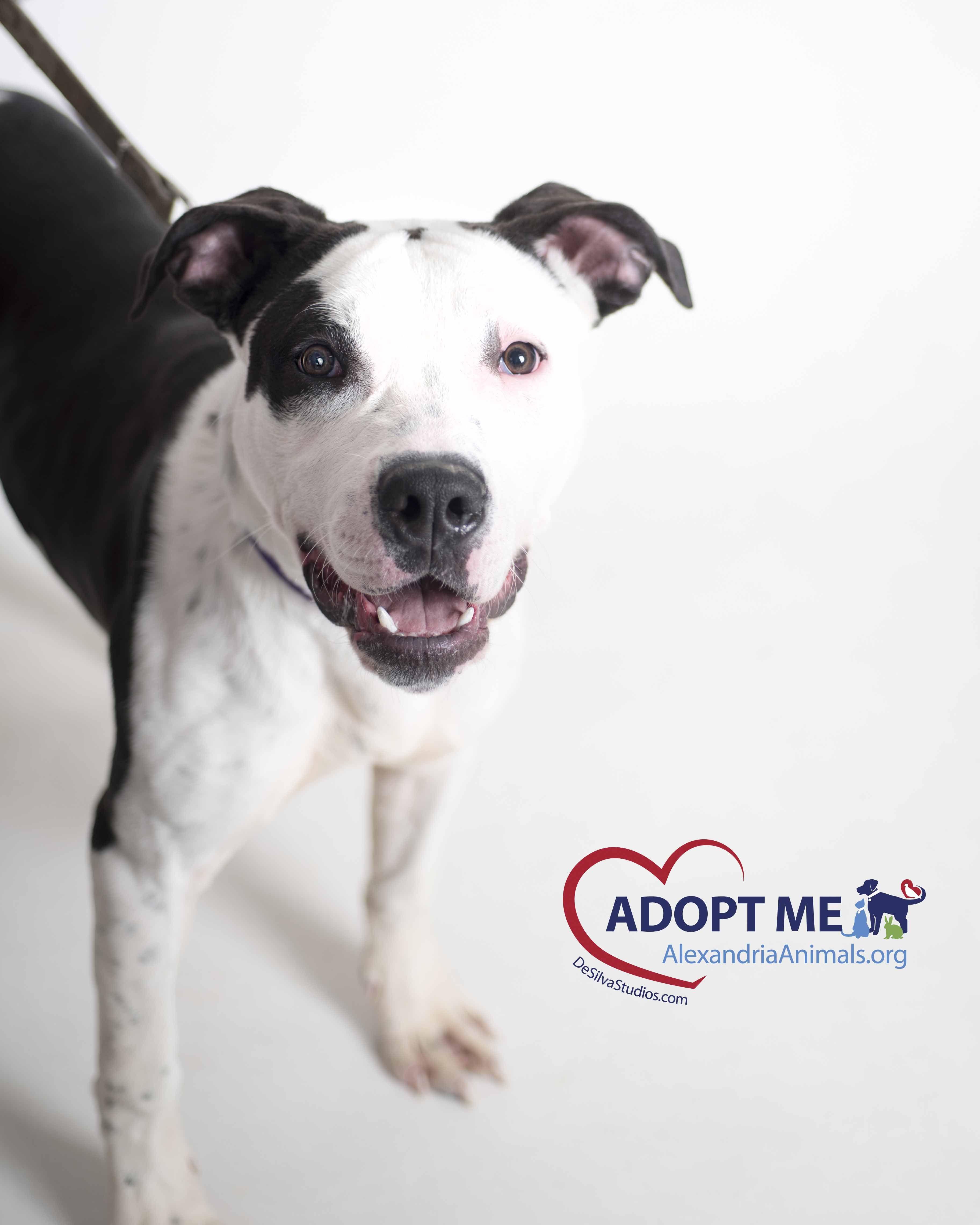 Dave Desilva Studios American Pitbull Terrier Pitbull Terrier Bull Terrier Dog
