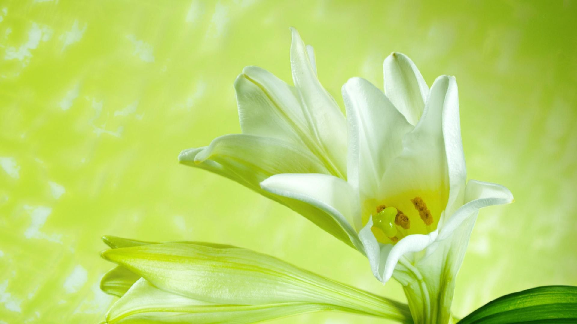 Best images about lily flower on pinterest flower wallpaper 1920 best images about lily flower on pinterest flower wallpaper 19201200 lily flower images wallpapers 51 wallpapers adorable wallpapers izmirmasajfo