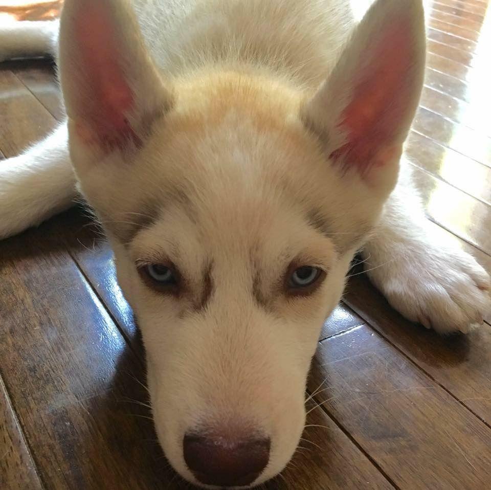 Finn❤ Siberian Husky Puppy in a basket. | Nook & Finn | Pinterest ... | Siberian Husky Puppies Bakersfield Ca