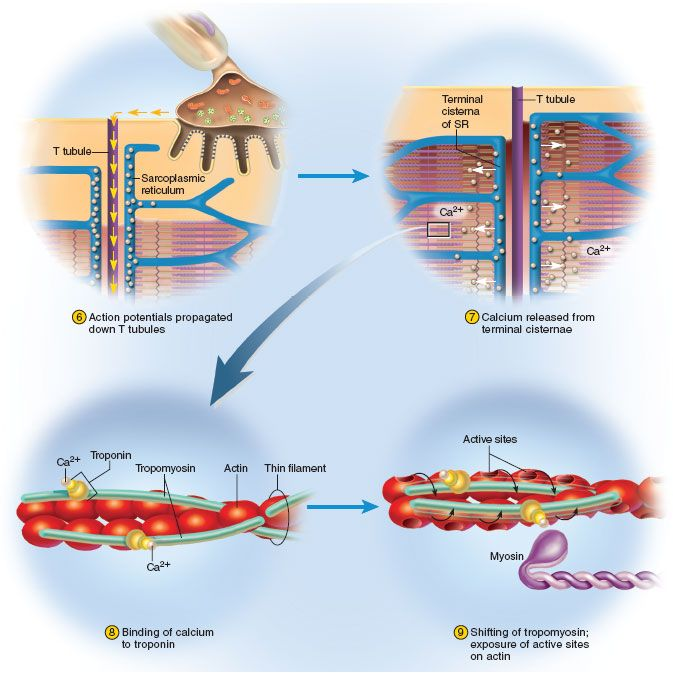 Excitation-Contraction Coupling: Action potential moves along sarcolemma and enters the T tubules (r