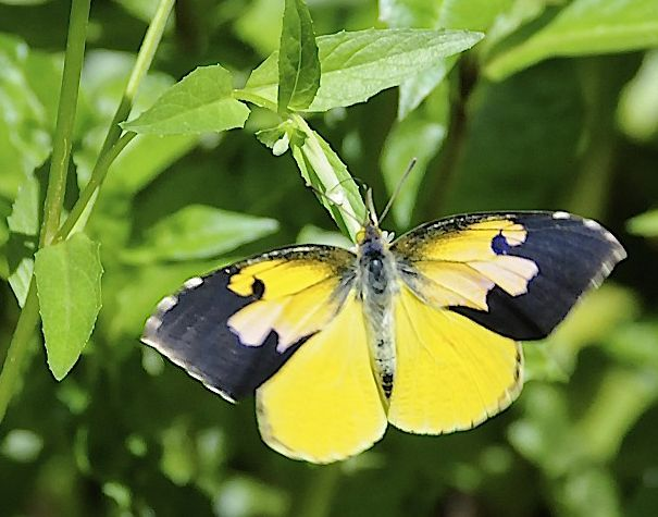 The California State Insect Is The California Dogface Butterfly