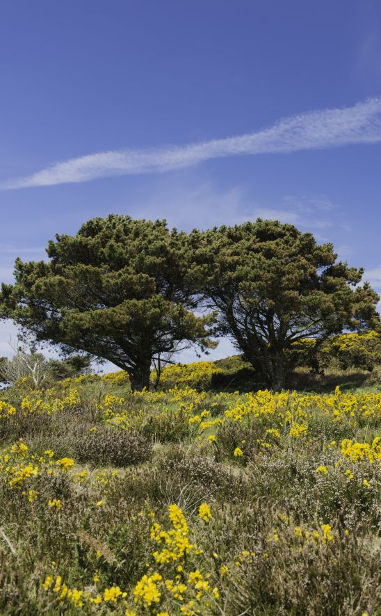 These trees are located at howth summit county dublin in ireland these trees are located at howth summit county dublin in ireland the gorse nikon d800yellow flowersthe mightylinksfo