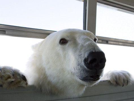 Polar bear is watching human!