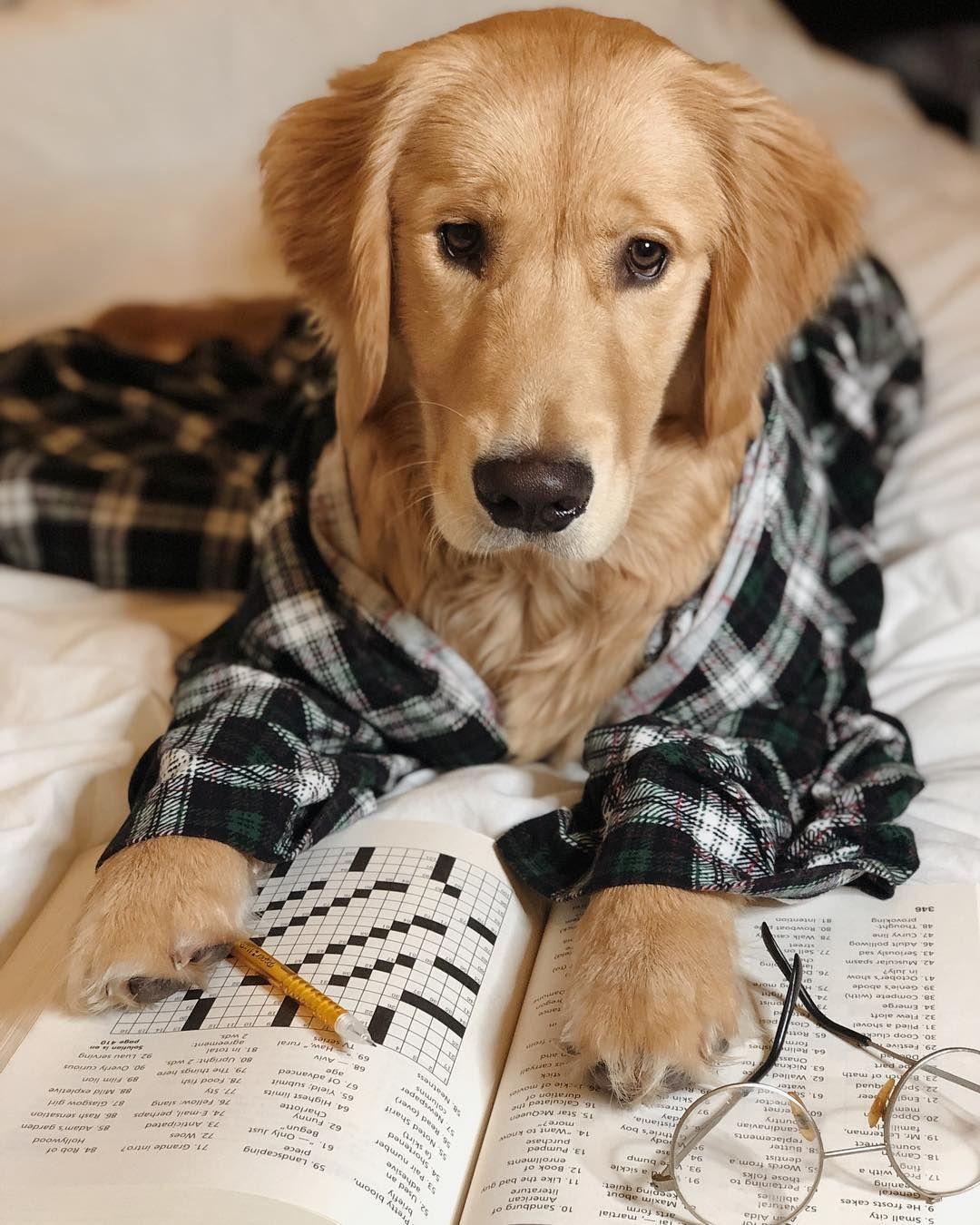 lambeau Dogs golden retriever, Golden retriever, Retriever