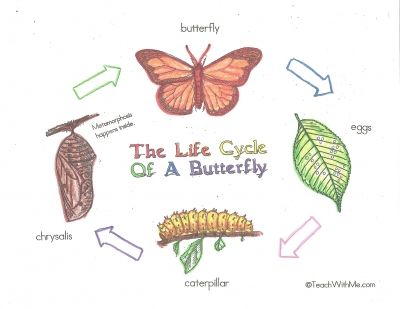 Free Butterfly Life Cycle Poster Charts Color And Black White Would Fit Nicely